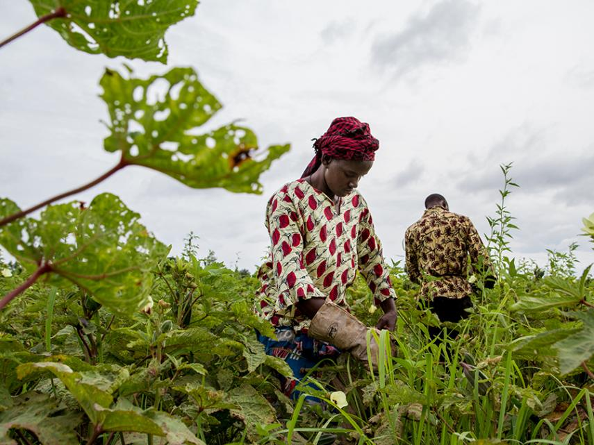 Africa's Sahel region could suddenly get far more rainfall as global warming proceeds, says a new study. Here, farmers in Mali, one of the countries potentially affected, harvest okra. (Francesco Fiondella/International Research Institute for Climate and Society)