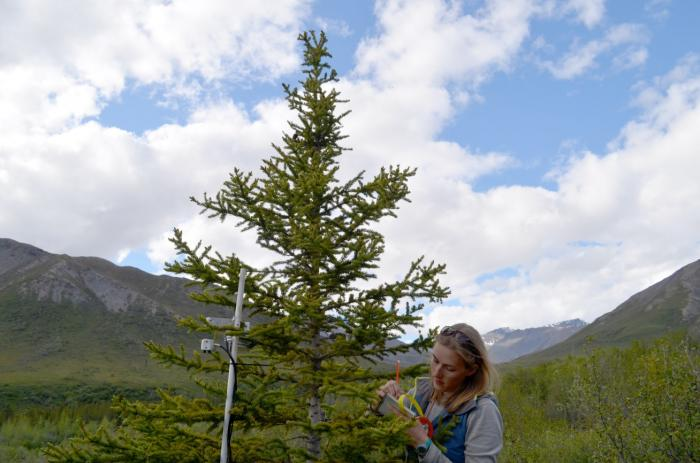 On her first trip to the north, Lamont-Doherty graduate student Johanna Jensen takes down data on a wired-up spruce. The study will provide not only long-term information on climate change, but opportunities for young scientists to work directly in the field. Photo: Kevin Krajick