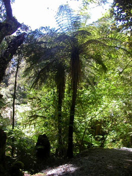 Tree ferns in Okarito Forest