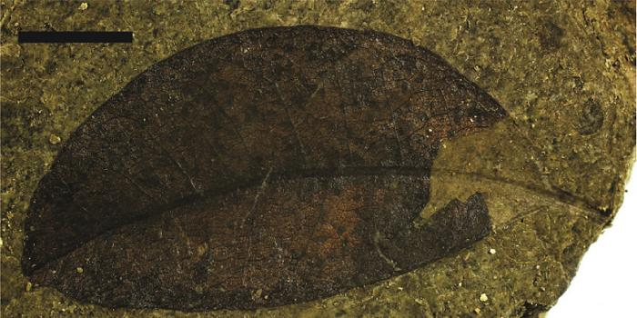 A fossilized Litsea calicariodies leaf from New Zealand's Foulden Maar. Photo: Tammo Reichgelt/Lamont-Doherty Earth Observatory