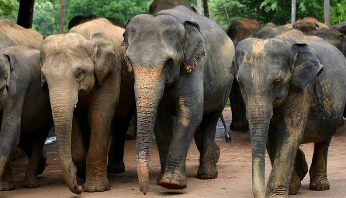 Asian elephants, like these in Sri Lanka, are sensitive to temperature. A new study explores how far plant and animal populations would have to migrate to maintain current temperatures in a world 2°C warmer. Photo: Amila Tennakoon, CC-BY-2.0