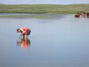 Layers of sediment in lakes where herders have watered animals for centuries may contain clues to past numbers of livestock. Here, a grad student scoops mud as cattle move in.