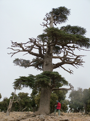 Researchers sampled oak and conifer trees across North Africa, including this Atlas cedar in Morocco.