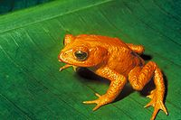 he Monteverde golden toad disappeared from Costa Rica Pacific coastal forest in the late 1980s.