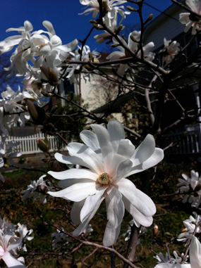 Ornamental magnolia, March 20, 2012, in the New York Hudson Valley town of Nyack. Like many other trees and plants, it is flowering far earlier than in earlier decades.