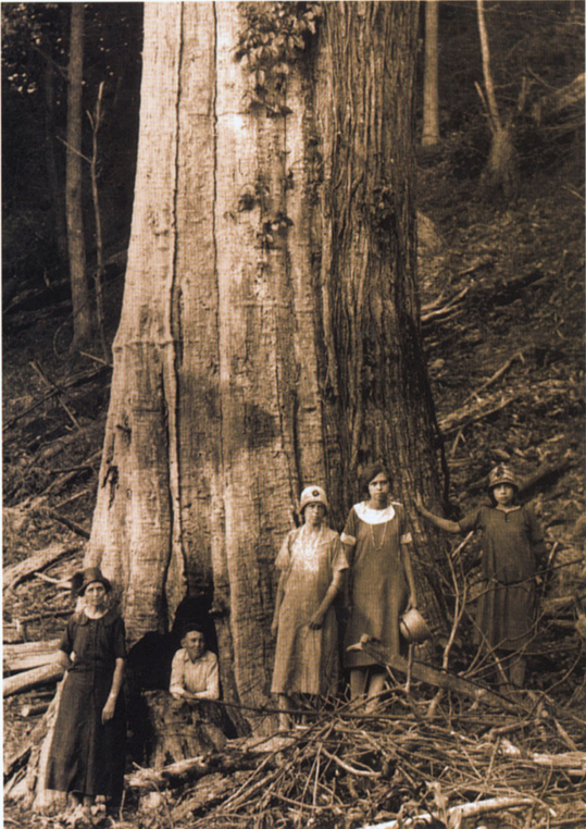 oldest tree in north america